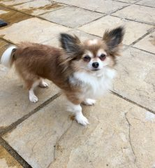 Muffin: Chihuahua