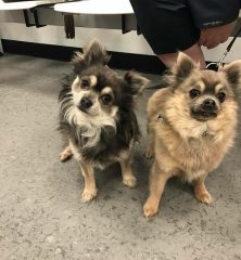 Bert & Reggie: Chihuahuas