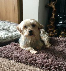 Nessa: Yorkshire Terrier