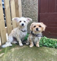 Arlie & Azalie: Yorkshire Terrier x Chihuahua