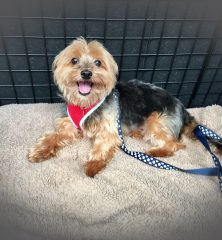 Tally: Yorkshire Terrier
