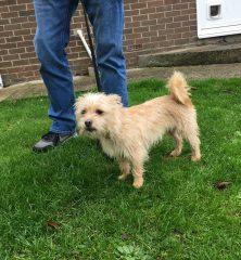 Millie: Shih Tzu x Yorkshire Terrier