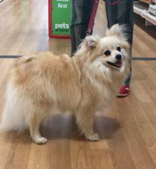 Jade: Pomeranian