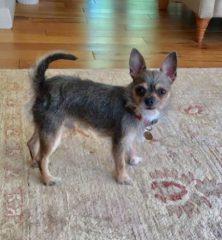 Gus: Chihuahua
