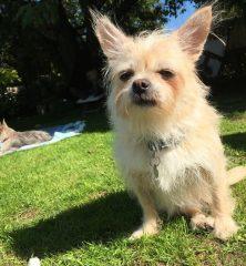 Sir Pip Chugginton: Chihuahua cross