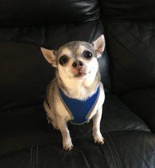Bronson: Chihuahua