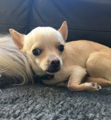 Leo: A very special Chihuahua