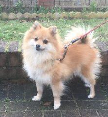 Coco: Pomeranian