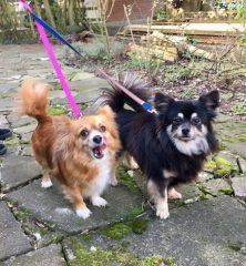 Banjo & Precious: Chihuahua cross