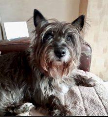 Pip: Cairn Terrier