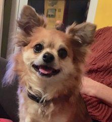 Charlie: Chihuahua