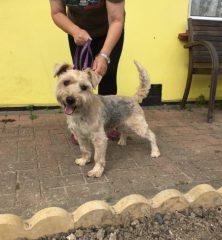 Georgie: Standard Yorkshire/Silky Terrier