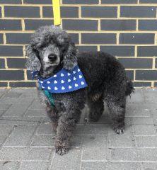 Charlie: Miniature Poodle