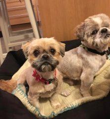 Buster & Lila: Shih Tzu